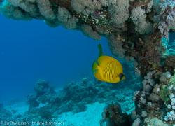 BD-090404-Marsa-Alam-4042358-Chaetodon-semilarvatus.-Cuvier.-1831-[Bluecheek-butterflyfish.-Rödahavsfjärilsfisk].jpg